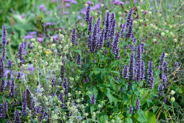 agastache-and-eryngiums-3