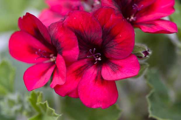 Purple-marked, wine-red flowers of Pelargonium 'Voodoo'