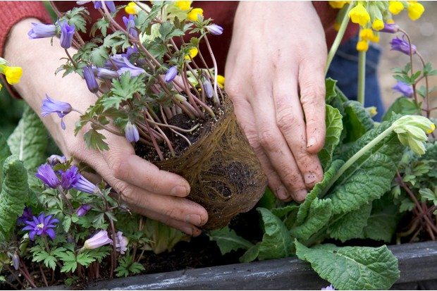 Planting the anemones at the front of the trough