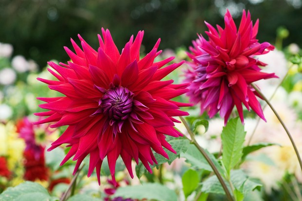 Deep-red Dahlia 'Rev P Holian' blooms