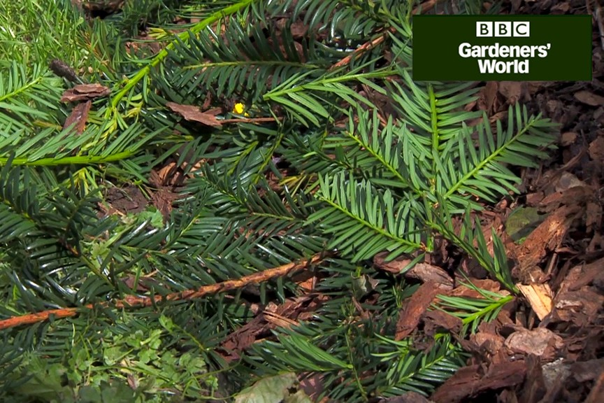 How To Trim A Young Yew Hedge Bbc Gardeners World Magazine