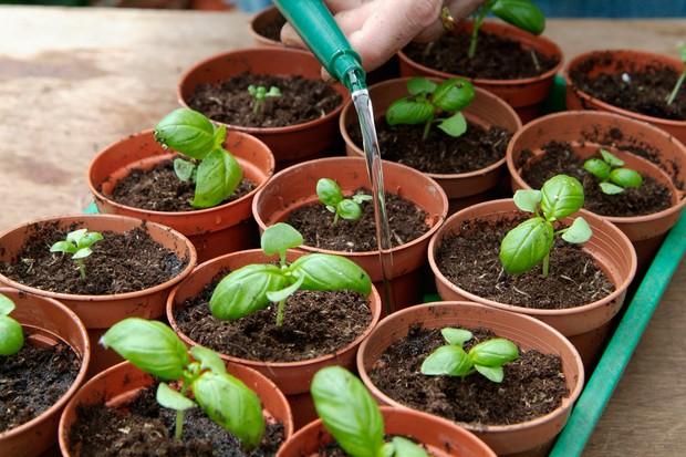 Watering basil seedlings