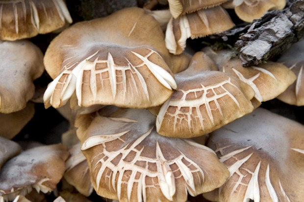 Is it possible to get rid of honey fungus?