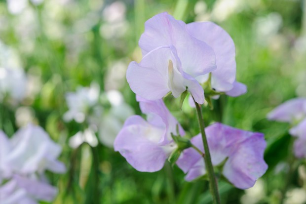 Creamy, purple blooms of Lathyrus odoratus 'Percy Thrower'