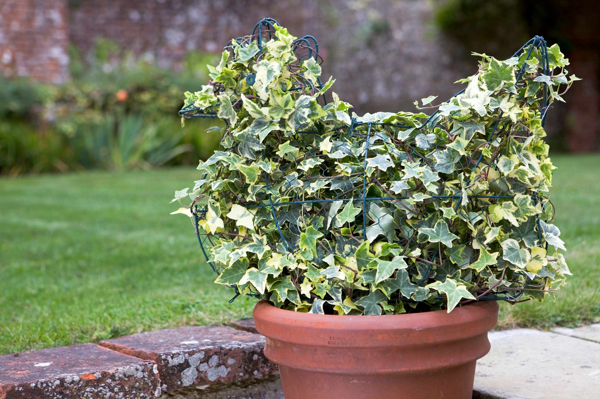 Topiary ivy chicken