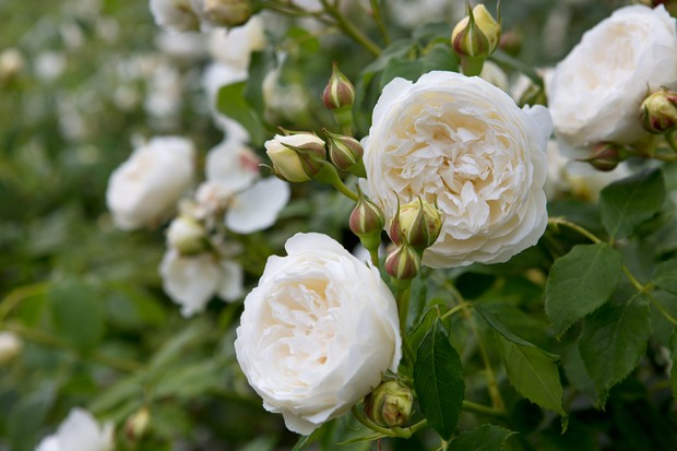 Double, cream blooms of climbing rose 'Claire Austin'
