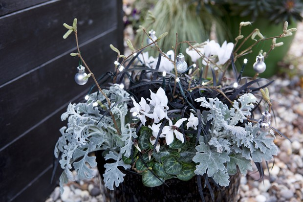 senecio-cyclamen-and-ophiopogon-container-2