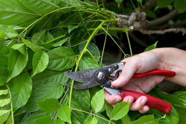 Eight reasons to prune in summer
