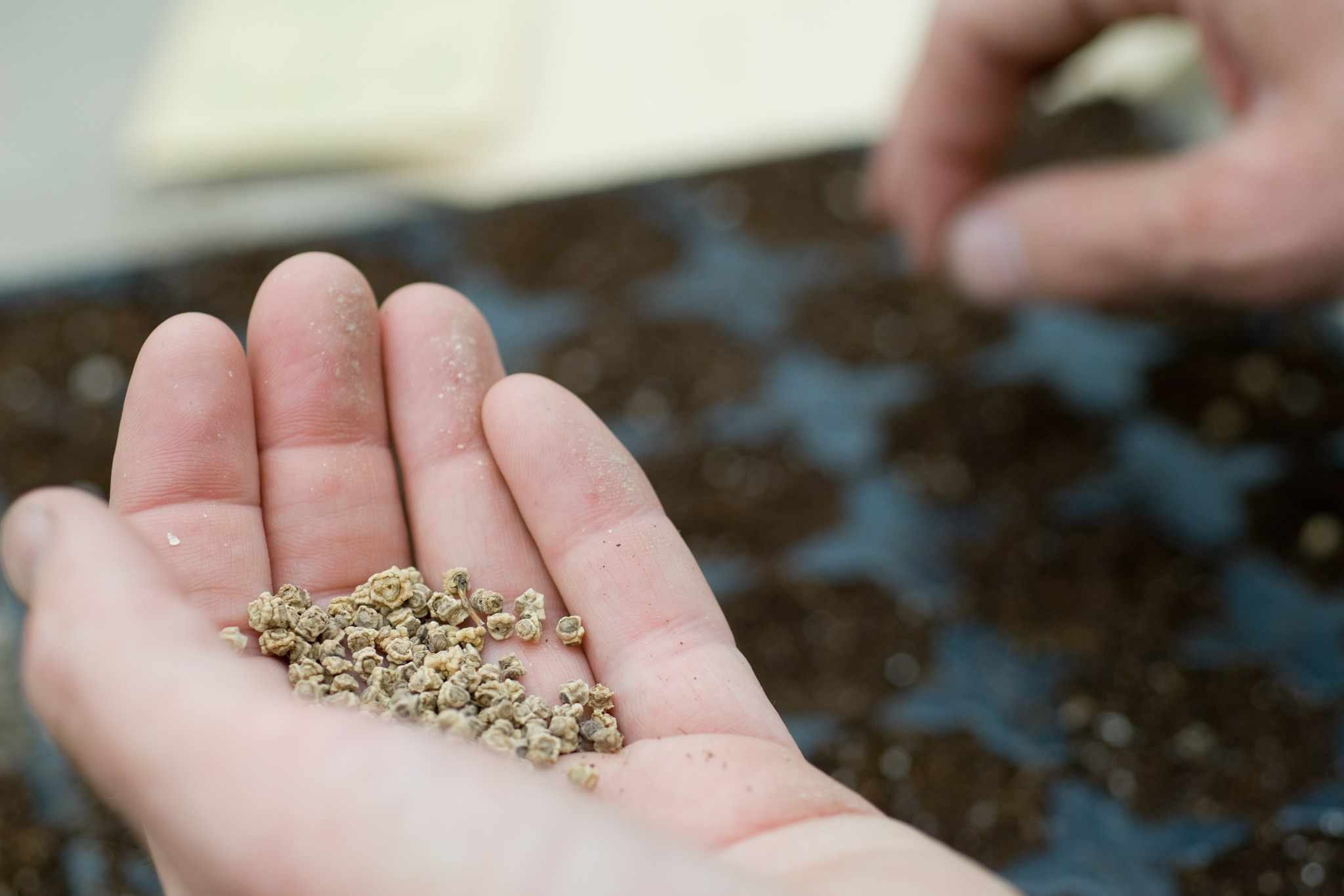 Sewing seeds into a seed tray