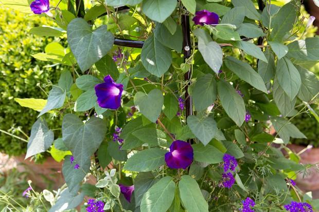 morning-glory-vine-and-verbena-2