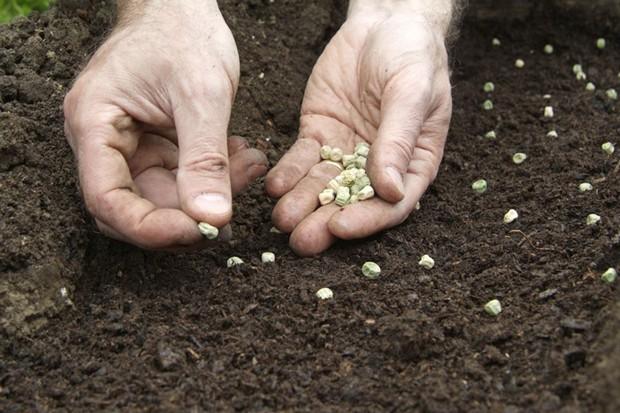 Sowing sugar-snap peas