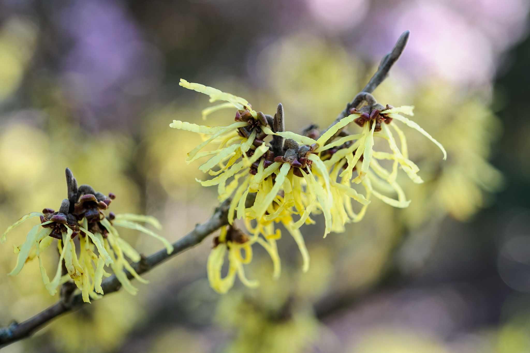 Pale yellow witch hazel flowers