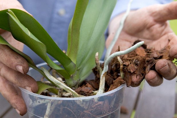 repotting-a-moth-orchid-filling-around-plant-with-orchid-compost-2