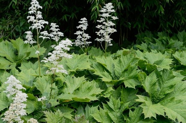 Large, spiky edged leaves of Rodgersia podophylla