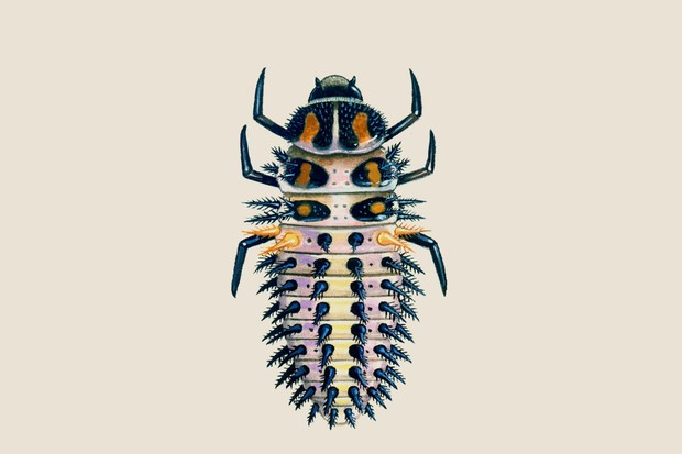 pine-ladybird-larvae-2