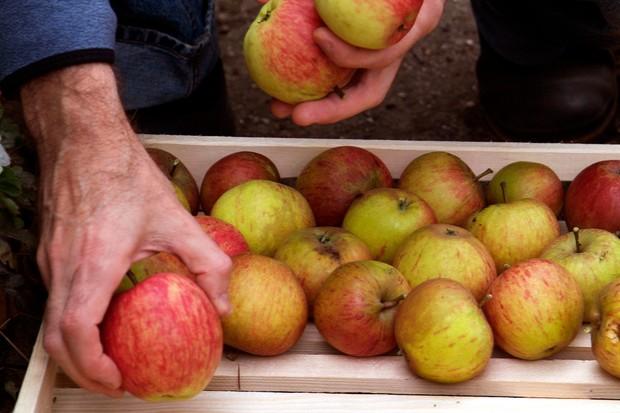 storing-apples-in-an-apple-rack-3