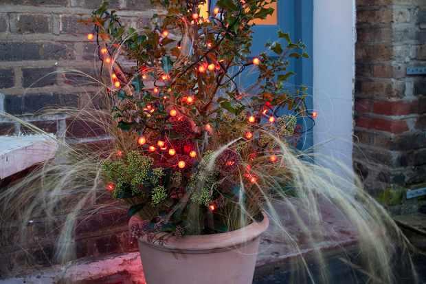 Holly and skimmia Christmas pot display
