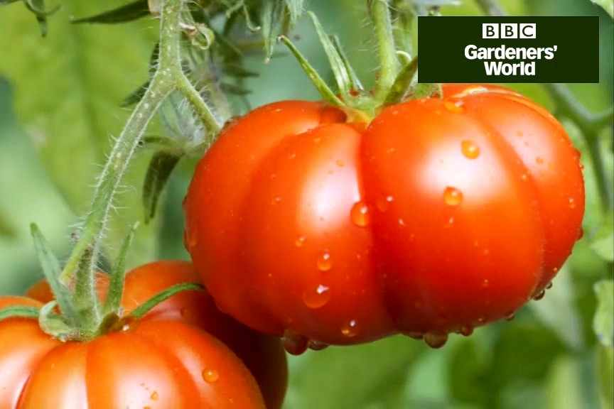 How to grow tomatoes and basil together video