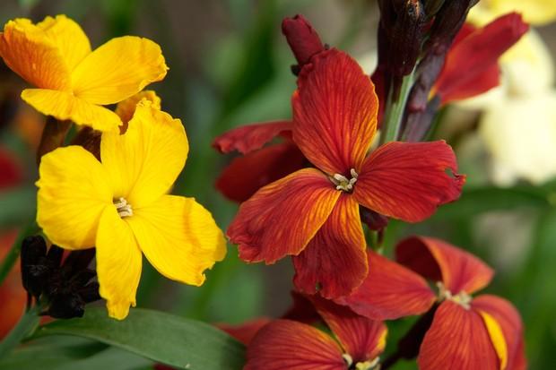 Wallflower, Erysimum cheiri, mixed flowers