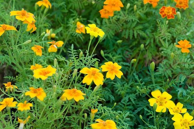 tagetes-flowers-2