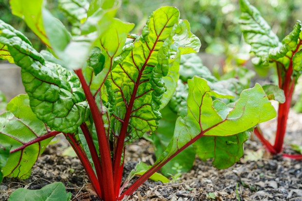 Red-stemmed swiss chard plants