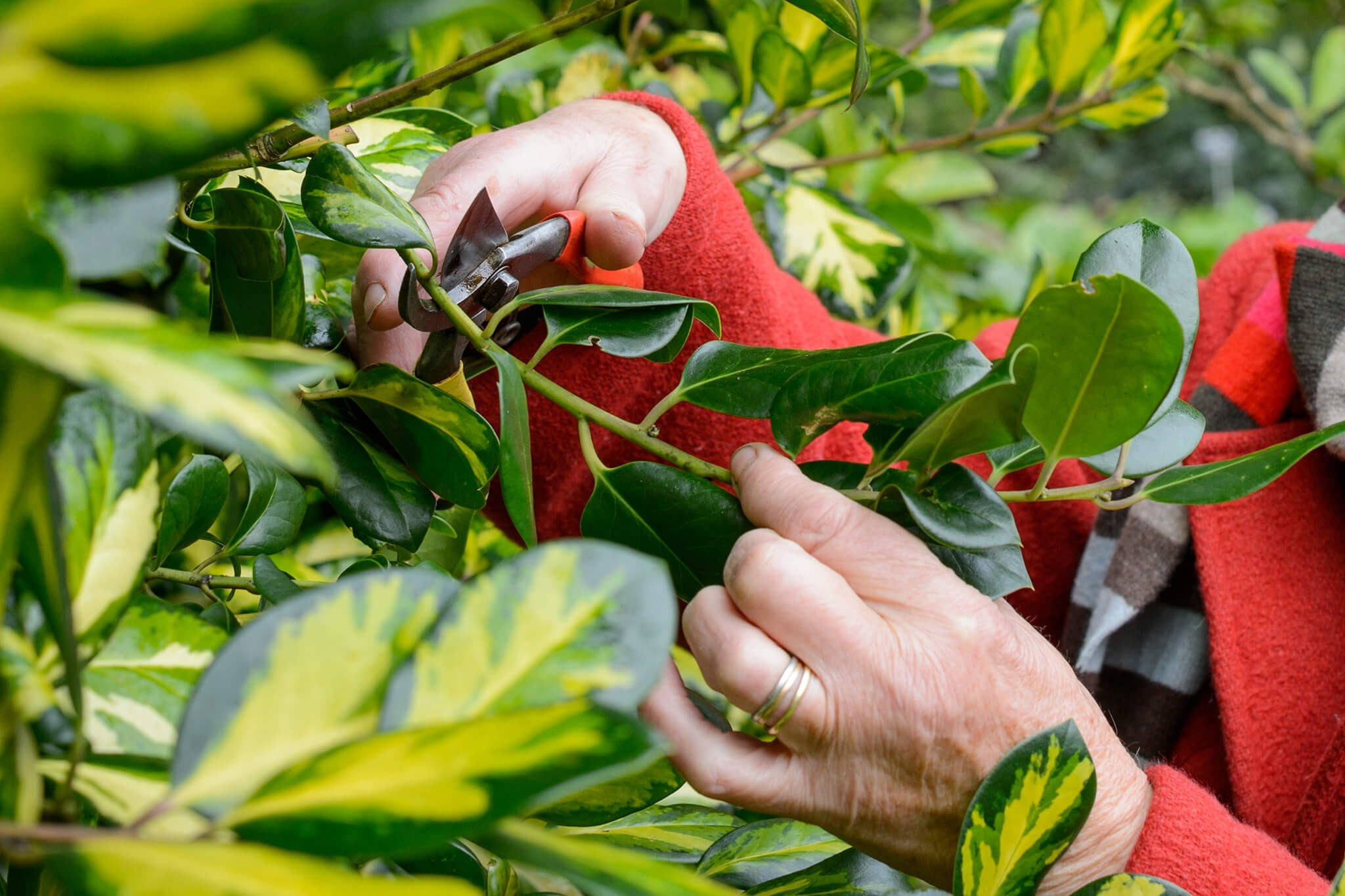 How To Prune Holly (In Pictures)