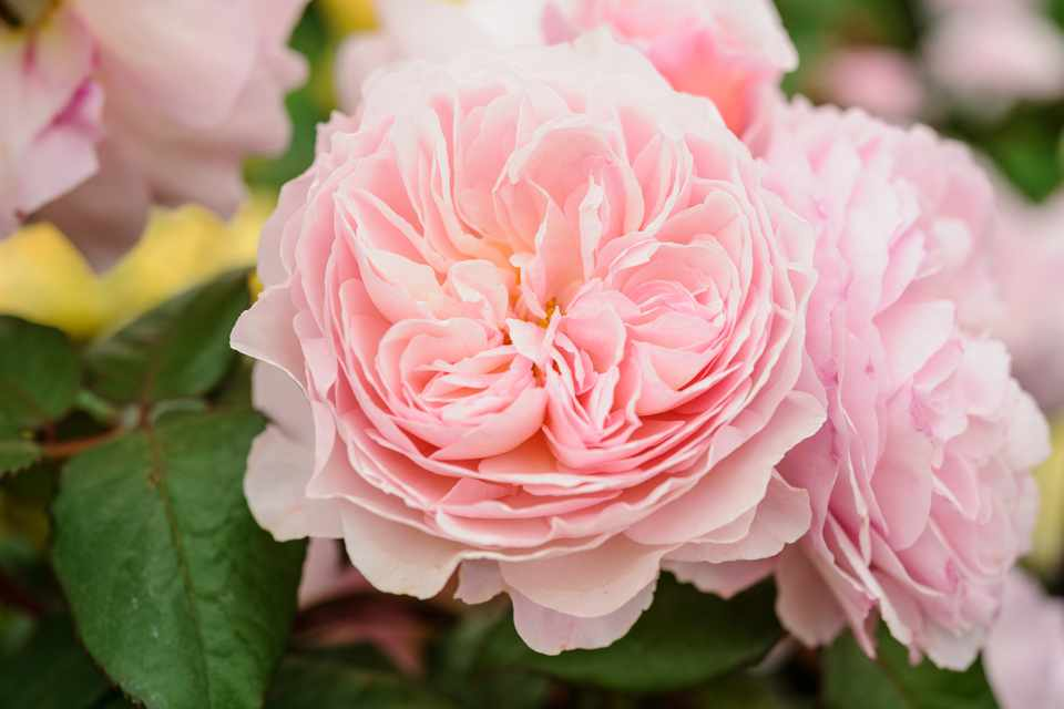 Double, pink blooms of thornless rose 'A Shropshire Lad'