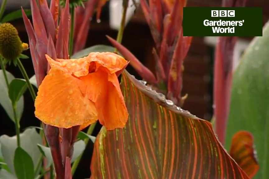 How to grow canna lilies