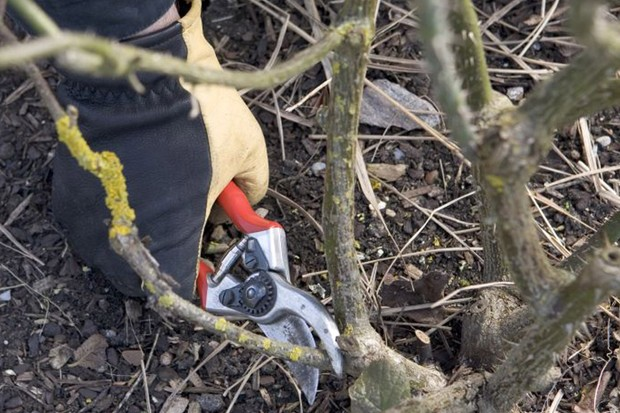 Pruning a side-shoot from a shrub