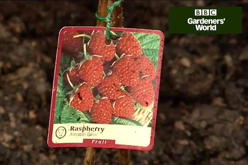 How to grow autumn fruiting raspberries video