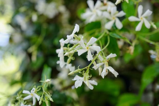 trachelospermum-jasminoides-8