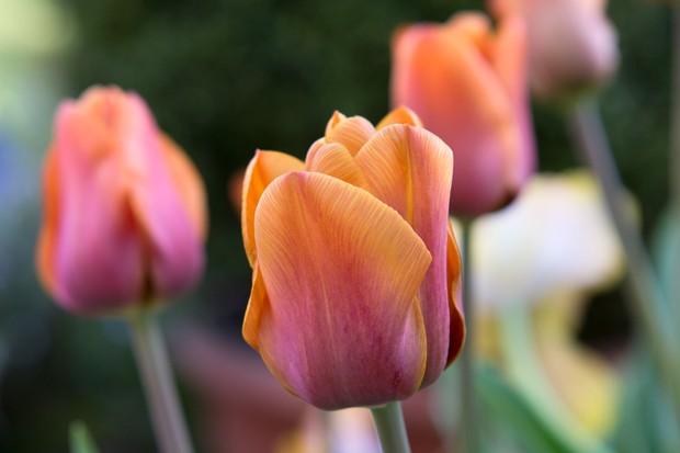 orange-tulip-cairo-3