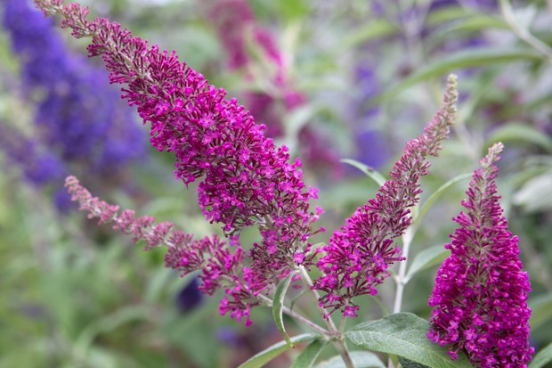 Purple and mauve buddleja blooms