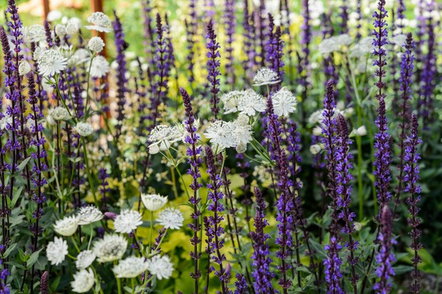 Ivory astrantia daisies mixed with blue salvia