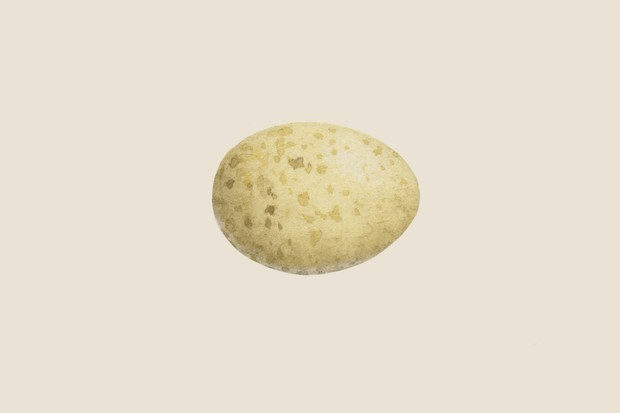 Robin (Erithacus rubecula) egg illustration