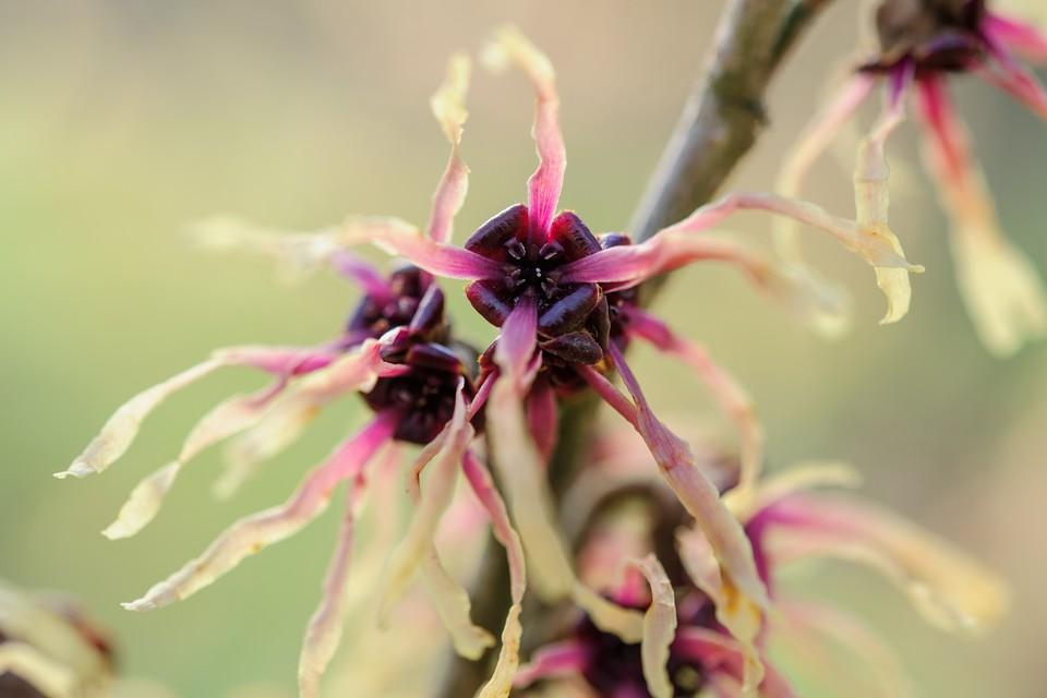 10 Witch Hazels To Grow Bbc Gardeners World Magazine