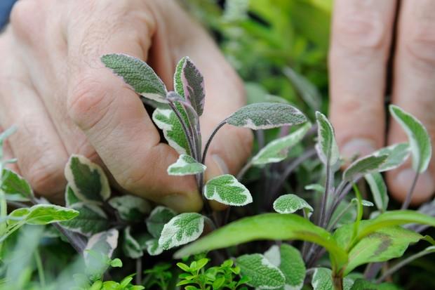 harvesting-sage-leaves-2