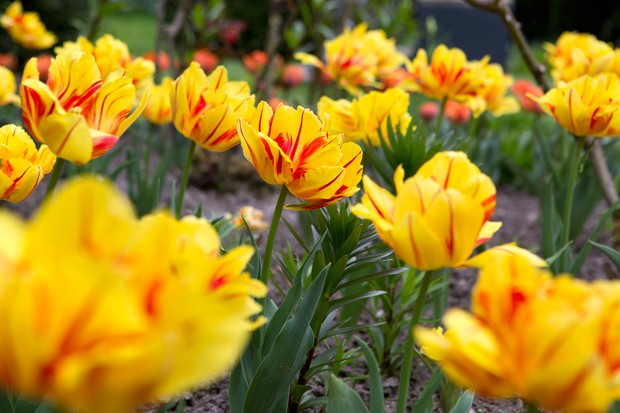 Red-streaked yellow flowers of tulip 'Monsella'