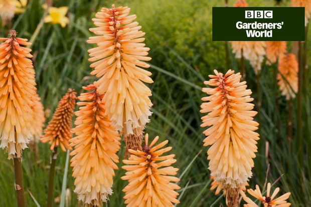 How to plant red-hot pokers (kniphofias)