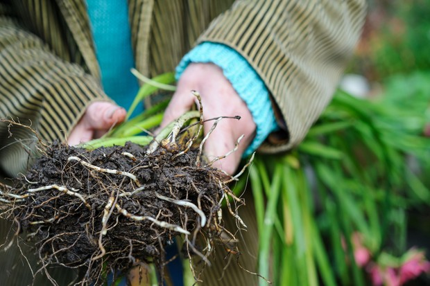 Lifting and dividing a clump of hesperantha rhizomes
