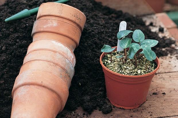 Cyclamen seedlings