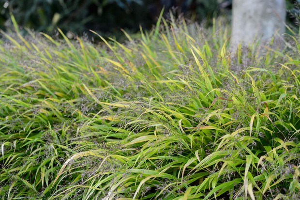 Fluffy flowerheads and light green blades of grass hakonechloa