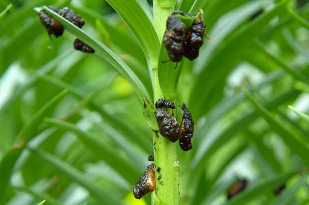 lily-beetle-excrement-3