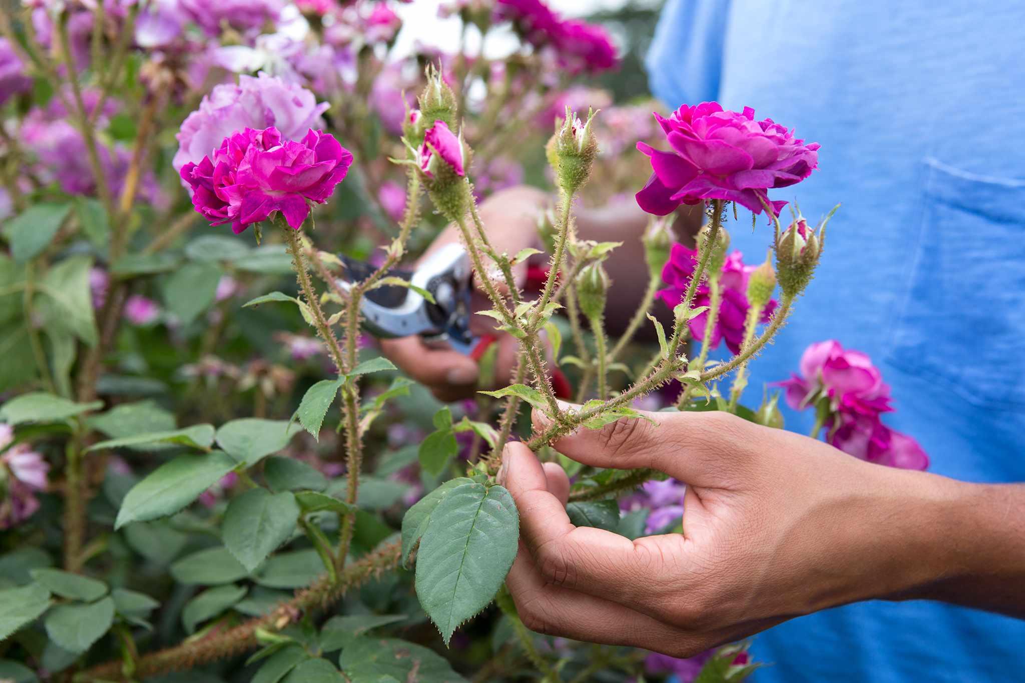 Deadheading roses at Royal Botanic Gardens, Kew
