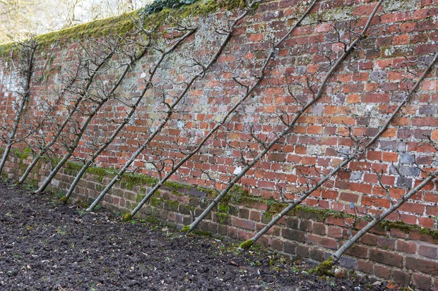 A row of cordon fruit trees growing against a wall at Audley End House