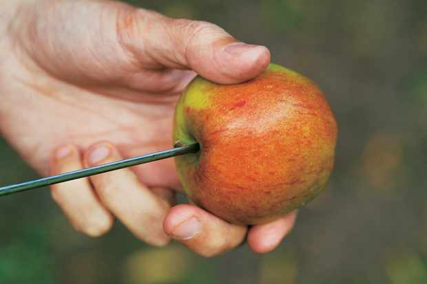 apple-threaded-on-wire-to-hang-for-birds-2