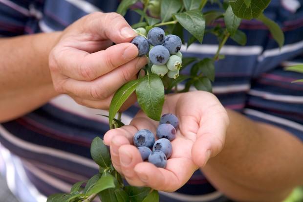 Picking ripe blueberries