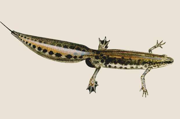 palmate-newt-3