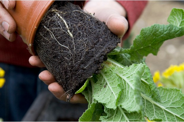 removing-cowslip-plant-from-the-pot-3