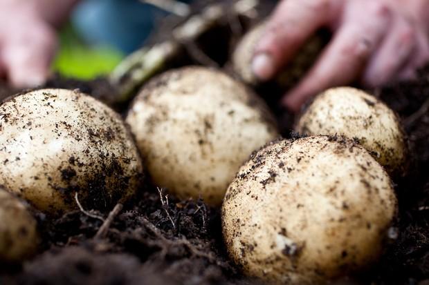 Harvesting maincrop potatoes
